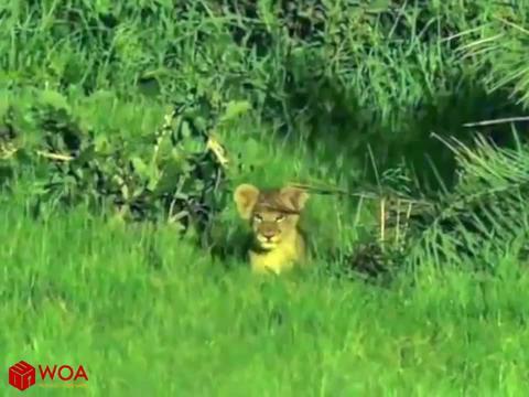 森林燃起大火,母狮子把孩子一只只叼出来,这下真的是火烧眉毛