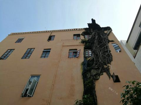 """广州榕树:撑裂楼体、成拱门、包裹城墙、""""开""""花儿,砍还是留?"""