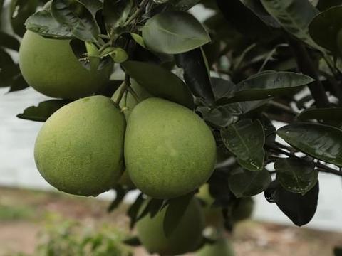 柚子树怎么栽培?柚子树多少钱一棵?柚子树怎么修剪?