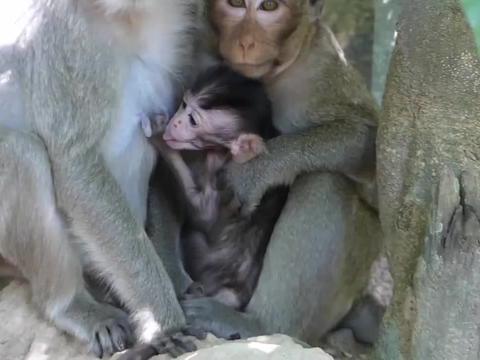 可怜的小猴,歇斯底里的哭啼,狠心的猴妈也不为所动!