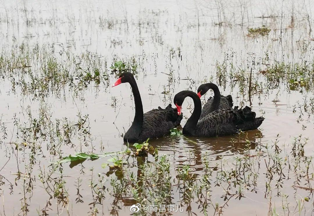 南昌九龙湖公园:黑天鹅来了