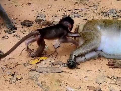 咦,呆萌小猴躺在地上,在玩什么呢?