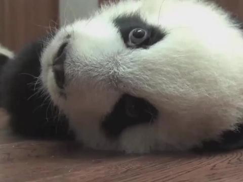 熊猫宝宝:谁才是太阳产房的老大?