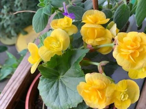 夏季需要遮阴的5种花,越是少晒太阳,枝叶越好看状态越好