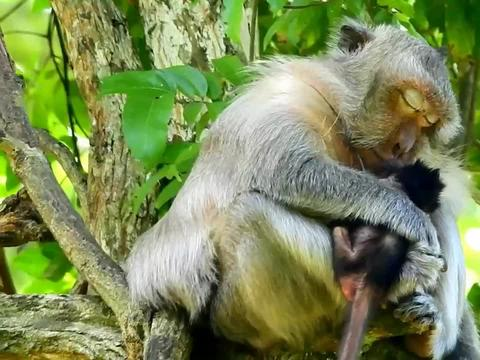 肥胖的猴妈带着小猴在树上休憩,真担心不小心摔了下去,担忧!