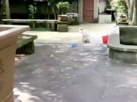柴犬跳水姿势太潇洒,同伴都傻眼了!