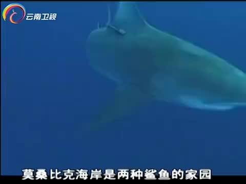 鼬鲨因其习性,被鲨鱼观察员称为游动垃圾箱,无所不吃!