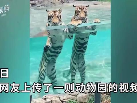 动物园老虎水中姿势妖娆站成一排,网友:别忘了你们是猛虎啊