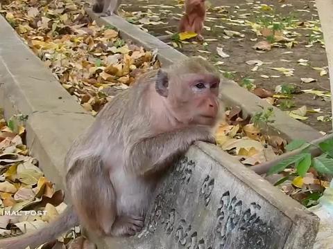 母猴反胃呕吐,看起来非常的难受,网友:应该是怀孕了吧!