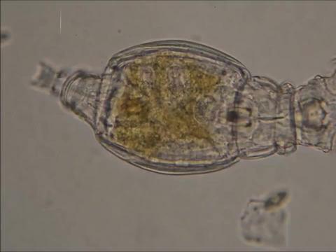 俄罗斯科学家成功复活2.4万年前冰冻轮虫,超强生命力堪比水熊