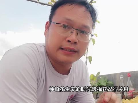 """花盆种生姜,如何长得快?勤用这种""""粉"""",多收半姜山"""