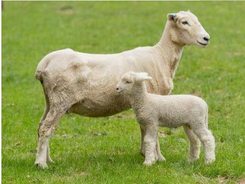 属羊人的终身寿数,2021年该何去何从?或许这就是命!