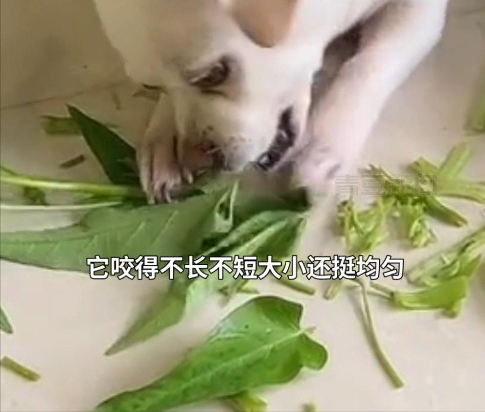 狗狗喜欢帮主人择豆角,大小均匀不长不短,网友:干家务活的好手