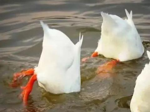 杭州男子买了一对鸳鸯,长成两只鸭子!