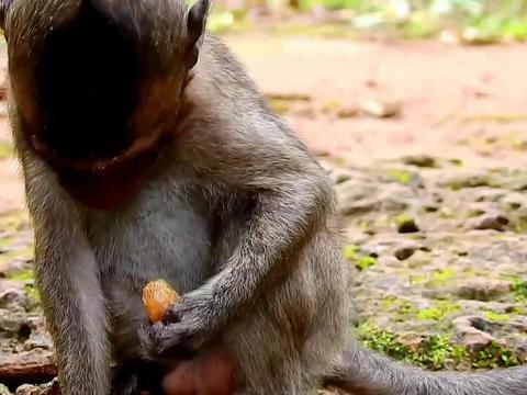 实拍小猴吃花生的全过程,真是太聪明了!