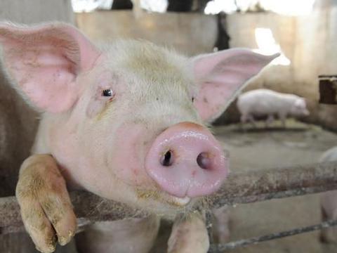 猪价破7入6,未来养猪,养殖户是该坚持还是及时止损?