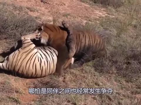 两头大象因为争夺领地,相互直接大打出手,可怕