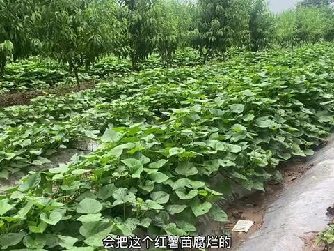 山西农村突降大雨,种红薯的农民朋友发愁了,这是为啥?