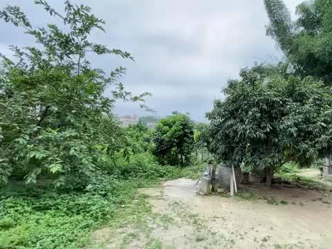 小鸟的繁殖季节,家门口到处是鸟窝,荔枝树上又有一窝红耳鹎