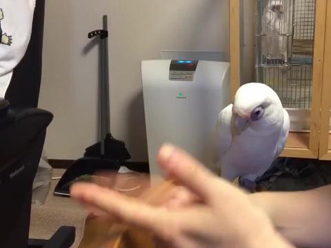主人用手指在敲凳子,鹦鹉听了大骂主人,叫主人别再吵人了!