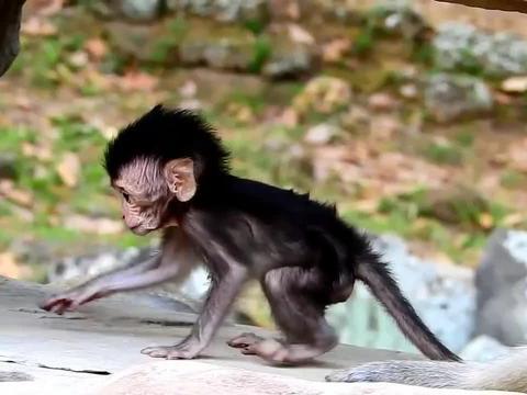 小猴兴趣有些逗,喜欢捣鼓石头,真是独特的小猴!