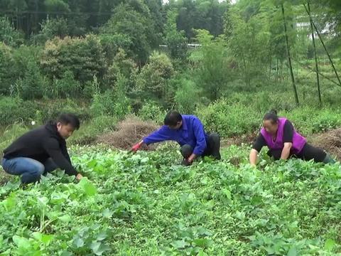 农村王四:思雨和爸妈去干活,婷婷在家做后盾,生活平淡而美好
