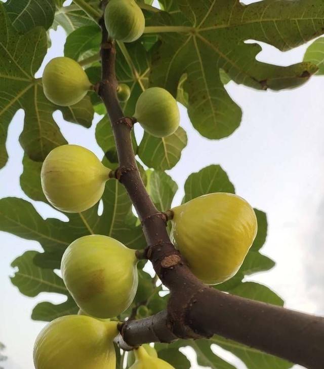 盆栽无花果夏天这么养,果子大几倍,甜蜜多汁,营养丰富