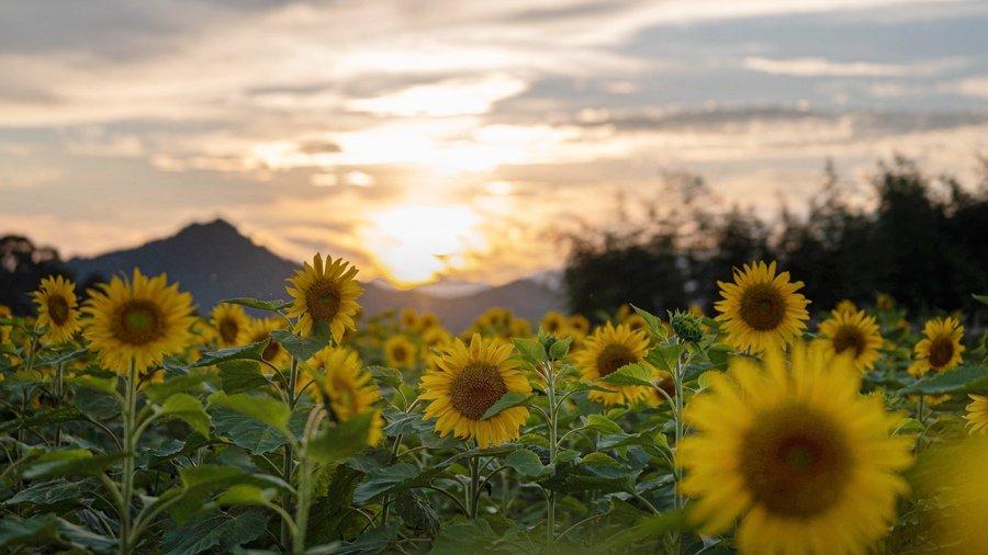 福建百亩向日葵美景如画
