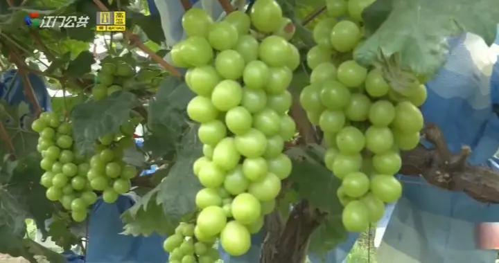 新会睦洲:葡萄大熟 迎来采摘好时节
