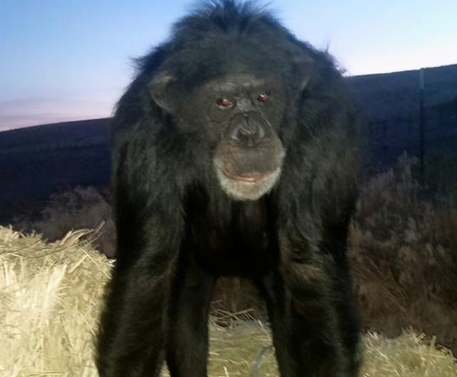 黑猩猩被当作宠物饲养了17年,突袭主人女儿,最终被警方开枪射杀