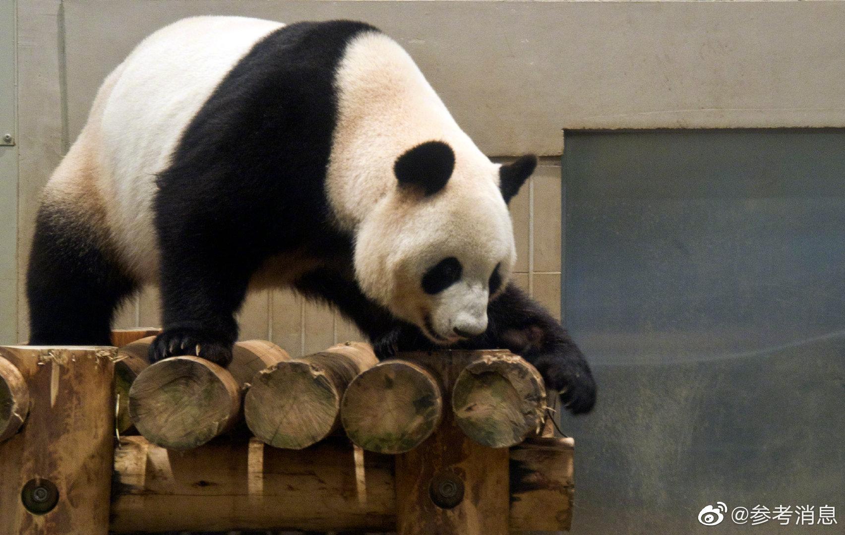 """外媒:旅日大熊猫""""仙女""""产下双胞胎"""