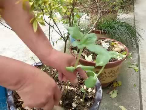 向日葵苗子好大了,朱嫂移栽10多棵既美观有收获,真是两全其美
