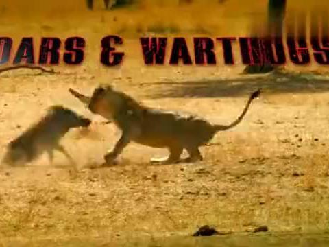 野猪与野生动物殊死大战