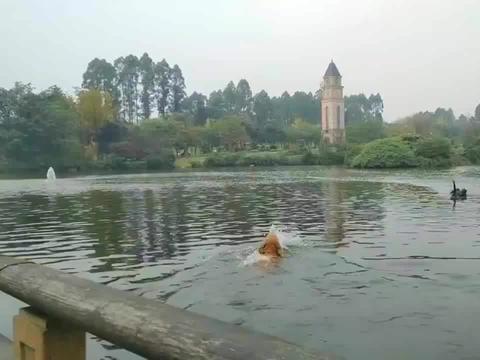 金毛下河游泳遭黑天鹅暴打,主人:去年也被打了一次!