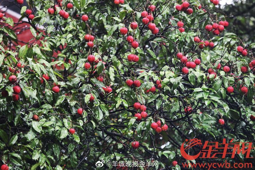 大丰收!广州最老古荔枝树今年挂果上百斤