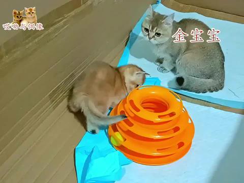 猫爸猫姐都爱玩的玩具,传到三胞胎小猫这还爱玩,玩累了睡姿多萌