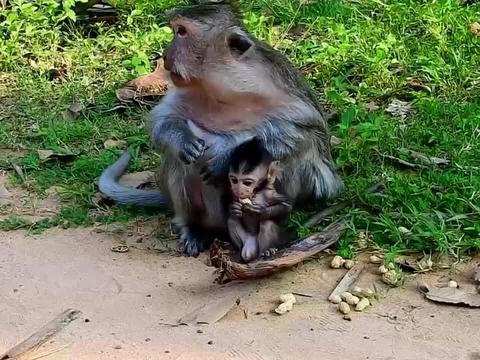 猴妈带着小猴吃花生,非常的和谐,幸福的母子!