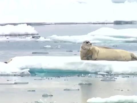 北极熊埋伏在水里,随时给海豹来个大惊喜!
