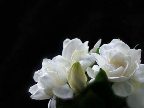 茶花杜鹃,养不好,不掉叶就是黄叶,打芽还没开花就掉叶