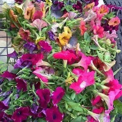 矮小的牵牛花生长迅速,使其持续开花的唯一方法是花后强剪