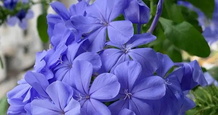 又到了蓝雪花盛开的季节,注意3点,长得像个疯子,非常能开花