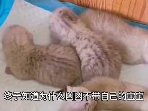 原来猫也懂审美?我家猫不带自己孩子,竟跑去照顾可爱的金渐层?