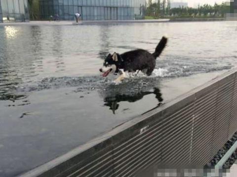 二哈游泳不用狗刨式,非要学别人用仰泳,结果悲剧了!