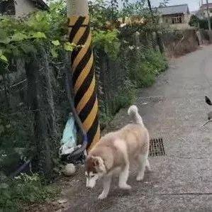 二哈只是出门散个步,结果被两只鸟追着啄了一路,心疼!