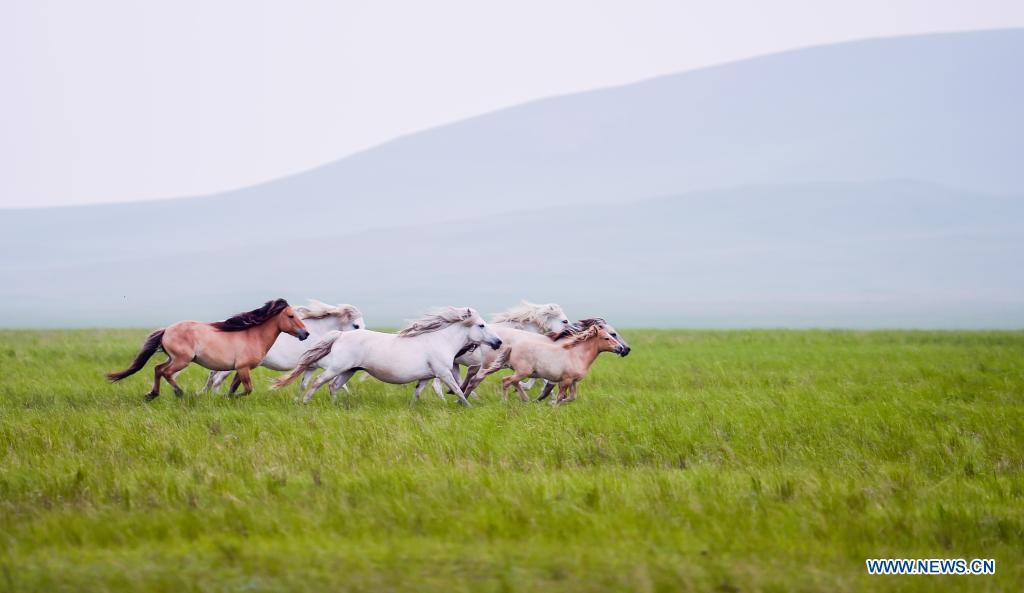 Horses run on the Xilingol Grassland in north China's Inner Mongolia Autonomous Region, July 12, 2021. (Xinhua/Lian Zhen)
