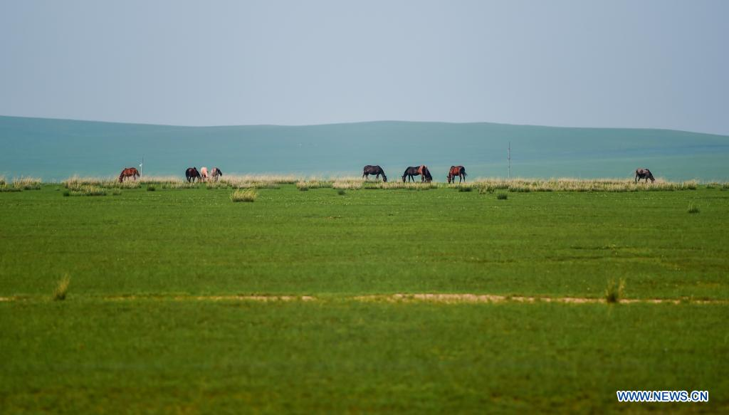 Horses forage on the Xilingol Grassland in north China's Inner Mongolia Autonomous Region, July 12, 2021. (Xinhua/Peng Yuan)