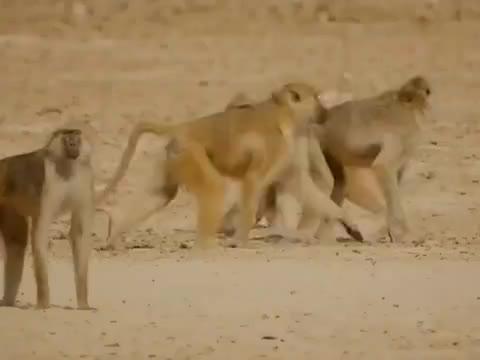 动物界弱肉强食 羚羊眼睁睁看着幼崽被狒狒抢走