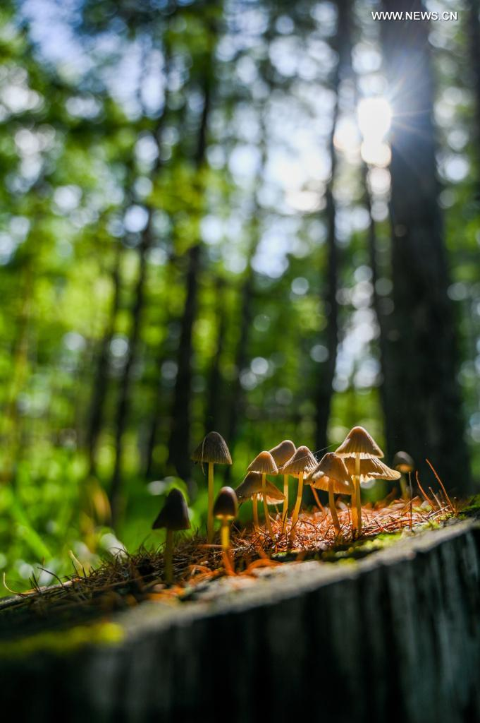Photo taken on July 14, 2021 shows a cluster of growing mushrooms in the Arxan National Forest Park, north China's Inner Mongolia Autonomous Region. (Xinhua/Lian Zhen)
