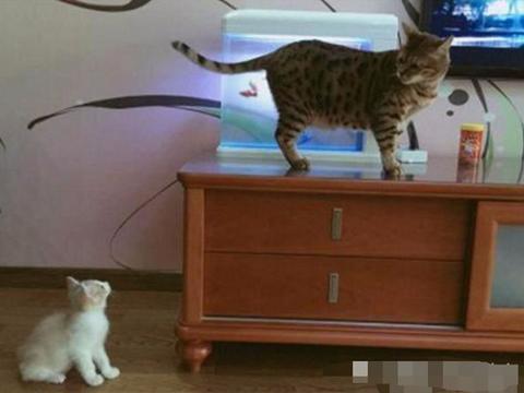 铲屎官给猫咪带回一小伙伴,让它好生照顾小猫咪,它露出的表情亮