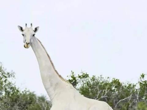 地球最后一只白色长颈鹿,雪白似灵宠,象征吉祥的它是如何消失的